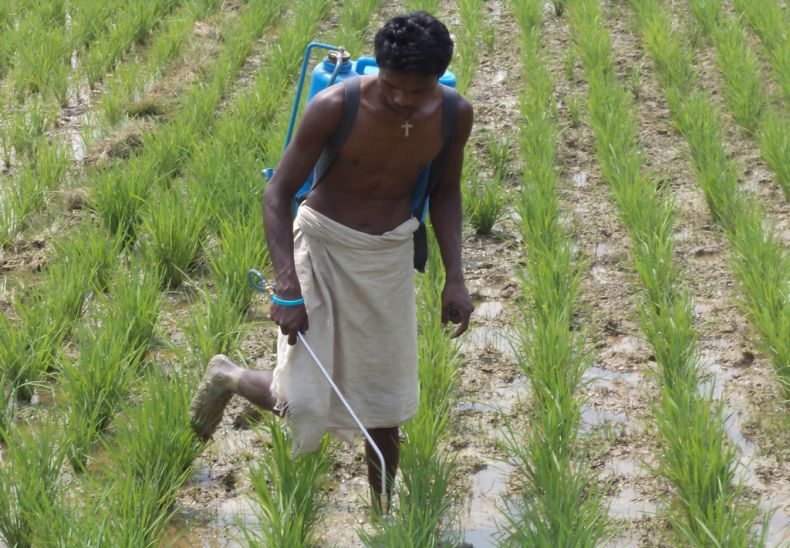 Using organic pesticides  and Amrit Pani (Revitalizer) in paddy